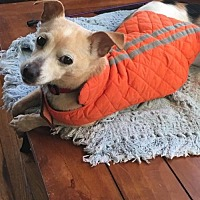 Chihuahua Dog for adoption in Knoxville, Tennessee - Sophie
