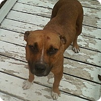 Pit Bull Terrier Mix Dog for adoption in McAllen, Texas - Millie