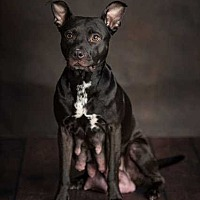 American Pit Bull Terrier Mix Dog for adoption in Topeka, Kansas - Shy