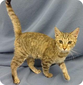 Domestic Shorthair Kitten for adoption in Olive Branch, Mississippi - Rachel