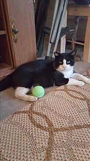 Domestic Shorthair Cat for adoption in Monrovia, California - Earl