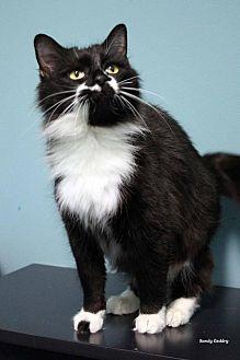 Domestic Mediumhair Cat for adoption in Paris, Maine - MJ