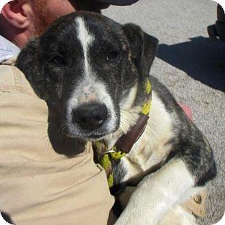 Labrador Retriever/Hound (Unknown Type) Mix Dog for adoption in Westwood, New Jersey - Bella