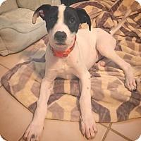 Adopt A Pet :: Sam - Crestline, CA