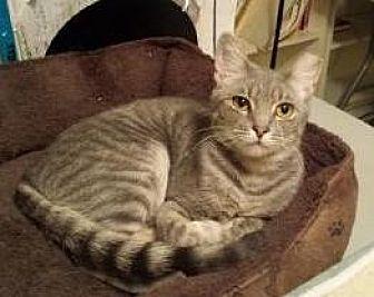 Domestic Shorthair Cat for adoption in Greenville, Delaware - Carson (FCID# 04/23/2017 - 200 Landenberg Foster)