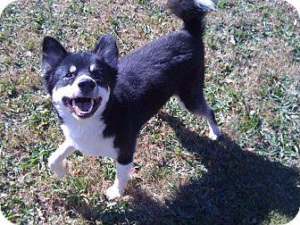 Husky/Alaskan Malamute Mix Dog for adoption in Greensboro, Georgia - Nekio- Adopted!!