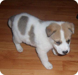 Labrador Retriever/German Shepherd Dog Mix Puppy for adoption in Torrance, California - ZORO
