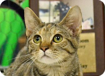 Domestic Shorthair Cat for adoption in Searcy, Arkansas - Mary Jo