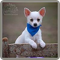 Adopt A Pet :: Bolt - Albany, NY
