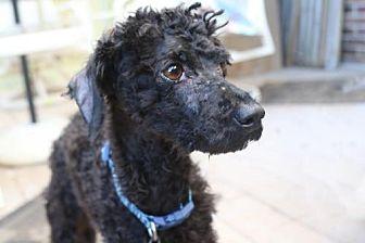 Poodle (Miniature) Mix Dog for adoption in Alpharetta, Georgia - Romain
