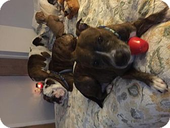 American Pit Bull Terrier Mix Dog for adoption in Ridgefield, Connecticut - Charlotte
