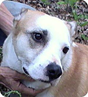 Labrador Retriever/Terrier (Unknown Type, Medium) Mix Dog for adoption in Hagerstown, Maryland - Arista