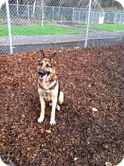 German Shepherd Dog Dog for adoption in Lake Oswego, Oregon - Abe von Abraham