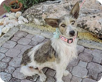 Terrier (Unknown Type, Small) Mix Dog for adoption in New York, New York - Betty