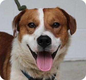 Basset Hound Mix Dog for adoption in Allentown, Pennsylvania - Lee