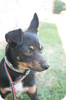 Chihuahua/Miniature Pinscher Mix Dog for adoption in Stilwell, Oklahoma - Rutt