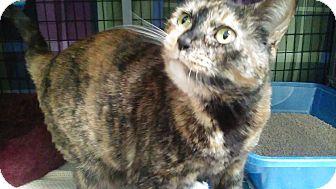 Domestic Shorthair Cat for adoption in Diamond Springs, California - Ginger