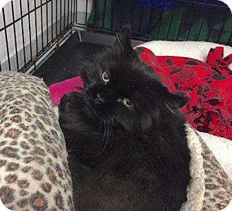 Persian Cat for adoption in Lakewood, Colorado - Judy