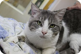 Domestic Shorthair Cat for adoption in Fountain Hills, Arizona - Oro