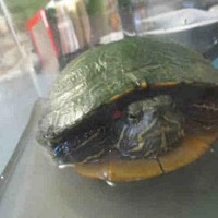 Adopt A Pet :: A070527 - Burbank, CA