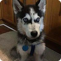 Adopt A Pet :: Bolt II - Clearwater, FL
