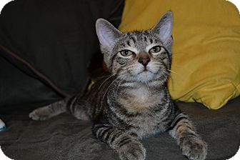 Domestic Shorthair Kitten for adoption in Milwaukee, Wisconsin - Kiwi - In Foster Care