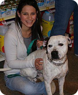 American Pit Bull Terrier Mix Dog for adoption in Yuba City, California - Mason
