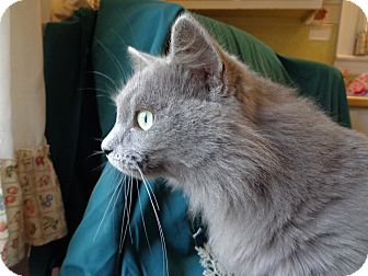 Domestic Mediumhair Cat for adoption in Bedford, Virginia - Blue Belle