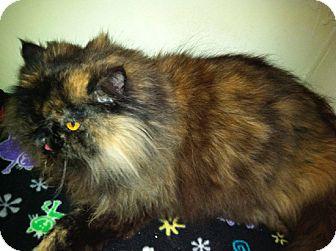 Himalayan Cat for adoption in Laguna Woods, California - Lulu