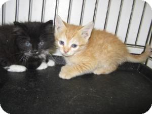 Domestic Shorthair Kitten for adoption in Rocky Mount, North Carolina - Cat X001