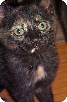 Domestic Shorthair Kitten for adoption in Escondido, California - Truffle