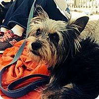 Adopt A Pet :: Indy - Santa Monica, CA