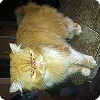 Adopt A Pet :: Gizmo - Clay, NY