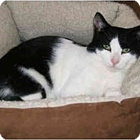 Adopt A Pet :: Awesome Tom Thumb - New York, NY