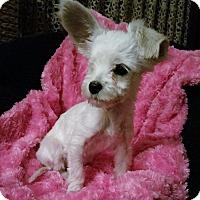 Adopt A Pet :: Eve-Fostered in Kansas City - Bridgeton, MO