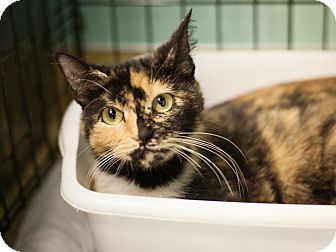 Domestic Shorthair Cat for adoption in Dallas, Texas - Kitty Girl