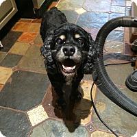 Adopt A Pet :: Rowdy-Courtesy Post - Alpharetta, GA