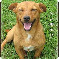 Adopt A Pet :: Sammy-One Good Dog! - Marlborough, MA