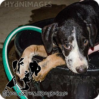 Catahoula Leopard Dog Puppy for adoption in Goodlettsville, Tennessee - Huck