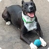 Adopt A Pet :: Lulu in CT - Manchester, CT