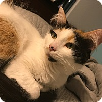Calico Cat for adoption in Murrieta, California - Addison