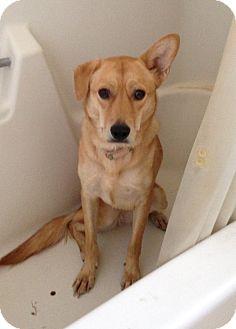 Fox Terrier (Wirehaired) Mix Dog for adoption in Phoenix, Arizona - Honey