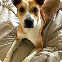 Adopt A Pet :: Hannah-ADOPTION PENDING - Boulder, CO