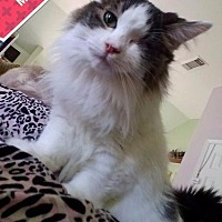 Domestic Longhair Cat for adoption in Spring, Texas - Magpeye