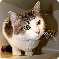 Domestic Shorthair Cat for adoption in Duluth, Minnesota - Houdini