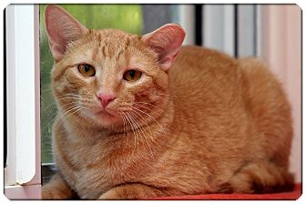 Domestic Shorthair Cat for adoption in Sterling Heights, Michigan - JV - ADOPTED!