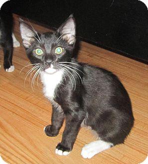 Domestic Mediumhair Kitten for adoption in Copperas Cove, Texas - Carter