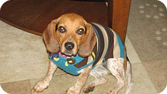 Beagle Mix Dog for adoption in Franklin, Virginia - Holly