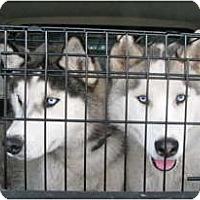 Adopt A Pet :: Toc - Kettle Falls, WA