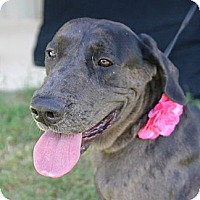 Adopt A Pet :: Dolly - Plano, TX